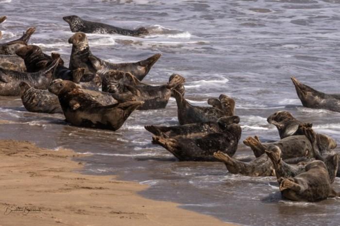 Grey Seals - Blaskets