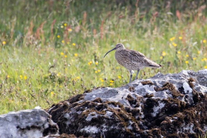 Breeding pairs of the ironic curlew have fallen to below 100 across Ireland