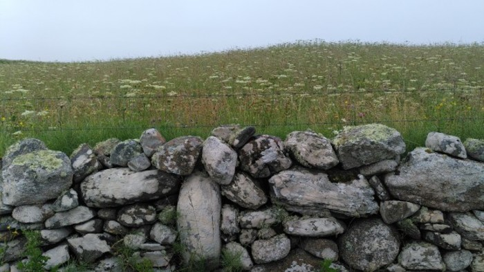 A wildflower meadow on farmland on Omey Island designed to create corncrake habitat